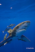 oceanic whitetip shark, Carcharhinus longimanus, with a small sharksucker or remora, and accompanied by a pair of pilot fish, Naucrates ductor, off the Kona Coast of Hawaii Island ( the Big Island ), Hawaiian Islands, U.S.A. ( Central Pacific Ocean )