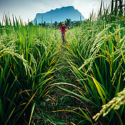Andrew Whiteford rides through rice fields as the sun sets in the jungle near Chiang Dao, Thailand.