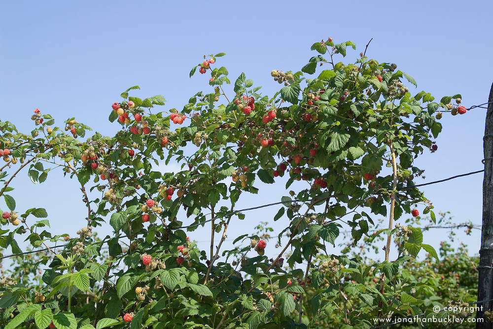 Raspberry 'Octavia' trained on wires - Rubus idaeus