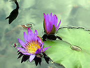 Purple Water Lillies ~ Two beautiful purple water lilies resting in pond, fluid and dreamlike.<br /> © Laurel Smith