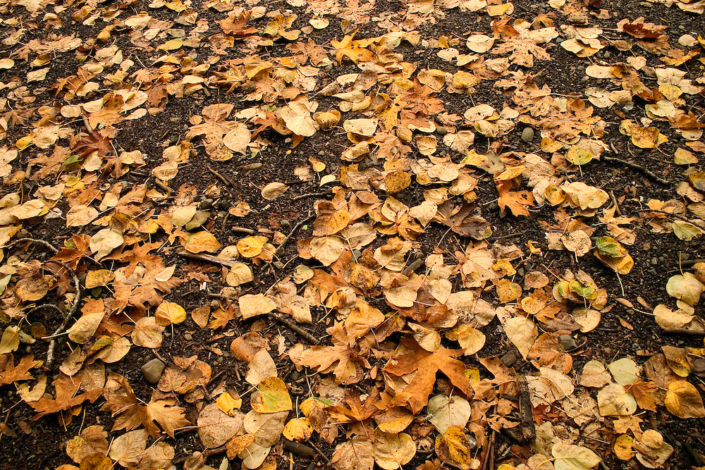Bed of fall leaves scattered on the ground, near Puntledge River Vancouver Island BC