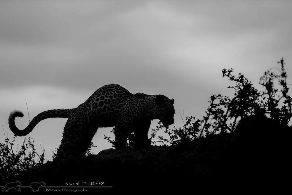 Backlit young leopard stretching on a hill top