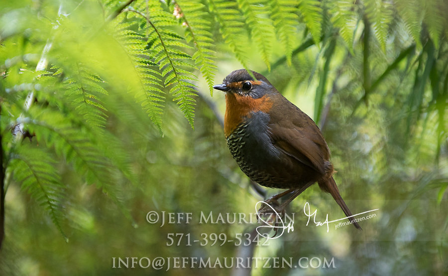 Chucao Tapaculo (Scelorchilus rubecula) in the Pumalin National Park temperate rainforest, Chile.