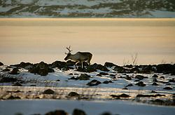 NORWAY FINNMARK 25MAR07 - Reindeer in Roddinessjoen Fjord in Finnmark, Norway's northermost Arctic province...jre/Photo by Jiri Rezac..© Jiri Rezac 2007..Contact: +44 (0) 7050 110 417.Mobile:  +44 (0) 7801 337 683.Office:  +44 (0) 20 8968 9635..Email:   jiri@jirirezac.com.Web:    www.jirirezac.com..© All images Jiri Rezac 2007 - All rights reserved.