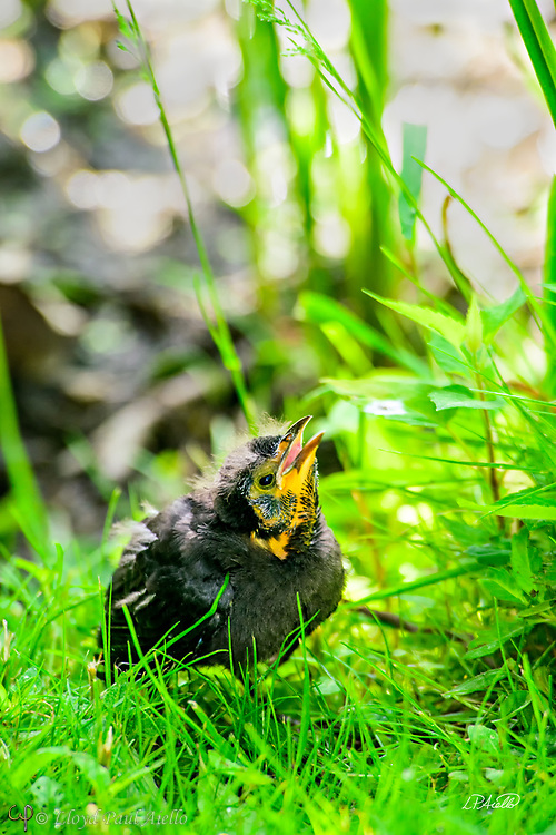 A young Red-winged Blackbird (Agelaius phoeniceus) fledgling begs for food at the edge of Halycon Lake in Mount Auburn Cemetery. <br /> <br /> The red-winged blackbird is found throughout most of North and much of Central America. It breeds from Alaska and Newfoundland south to Florida, the Gulf of Mexico, Mexico, and Guatemala, with isolated populations in western El Salvador, northwestern Honduras, and northwestern Costa Rica. It may winter as far north as Pennsylvania and British Columbia, but northern populations are generally migratory, moving south to Mexico and the southern United States. <br /> <br /> The red-winged blackbird has been considered the most abundant living land bird in North America, with more than a million birds per flock and the total number of breeding pairs across North and Central America exceeding 250 million in peak years. <br /> <br /> The red-winged blackbird is sexually dimorphic with the male being all black with a red shoulder and yellow wing bar, while the female is a nondescript dark brown. Red-winged blackbirds are polygynous, with territorial males defending up to 10 females. Seeds and insects make up the bulk of the red-winged blackbird's diet.<br /> <br /> Male red-wing blackbirds grow to 22&ndash;24 cm (8.7&ndash;9.4 in) long and weigh 64 g (2.3 oz).  Females are smaller.  They build their nests in cattails, rushes, grasses, sedge, or in alder or willow bushes. The nest is constructed entirely by the female over the course of three to six days. A clutch consists of three or four, rarely five, eggs. Eggs are oval, smooth and slightly glossy, and measure 24.8 mm &times; 17.55 mm (0.976 in &times; 0.691 in). They are incubated by the female alone, and hatch in 11 to 12 days both blind and naked.  However, they are ready to leave the nest 11 to 14 days after hatching.