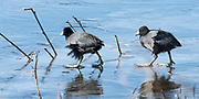 This flock of American Coots found themselves surrounded by ice on this March morning. As they became hungry, a few would venture to the edge to eat. Bombay Hook NWR, Delaware