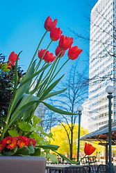 United States, Washington, Bellevue. Tulips in Spring in downtown Bellevue.