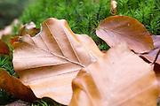 braunes Laub auf Moos, Sächsische Schweiz, Elbsandsteingebirge, Sachsen, Deutschland | brown leafs on moss, Saxon Switzerland, Saxony, Germany