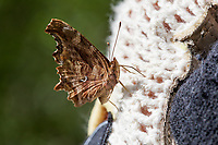 Polygonia satyrus (Satyr Anglewing) at Siberia Creek, San Bernardino Co, CA, USA, on 17-Jul-16