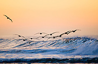 Flock of brown pelicans, Pelecanus occidentalis flying in formation over a breaking wave at sunrise at Emma Wood State Beach in Ventura, California.