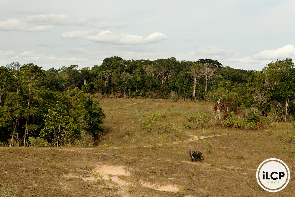 African Forest Elephant (Loxodonta africana cyclotis) bull in savanna, Lope National Park, Gabon