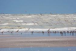 Flocks of shorebirds at Eighty Mile Beach in the Kimberley wet season.