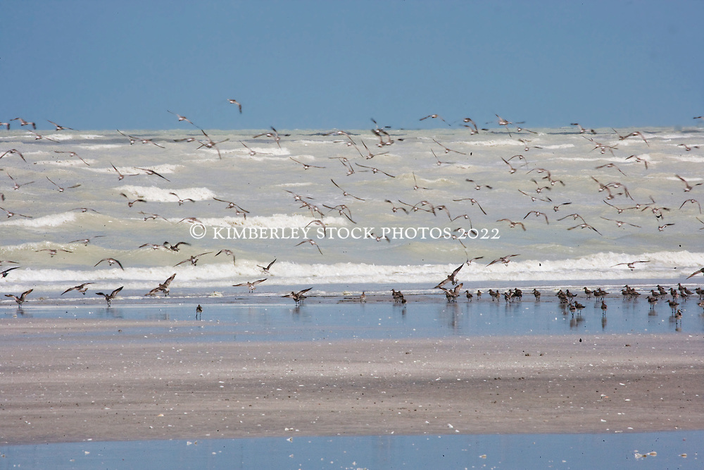 Flocks of shorebirds at Eighty Mile Beach in the Kimberley wet season.