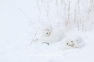 01863-01405 Two Arctic Foxes (Alopex lagopus) in snow Chuchill Wildlife Mangaement Area, Churchill, MB Canada