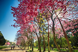 Ipês floridos no Parque Farroupilha. O Parque Farroupilha, também conhecido como Parque da Redenção, é o parque mais tradicional e popular de Porto Alegre, sendo um local tradicionalmente visitado pelos porto-alegrenses nas horas de descanso, seja para praticar esportes ou simplesmente tomar um chimarrão com a família. FOTO: Jefferson Bernardes/Preview.com