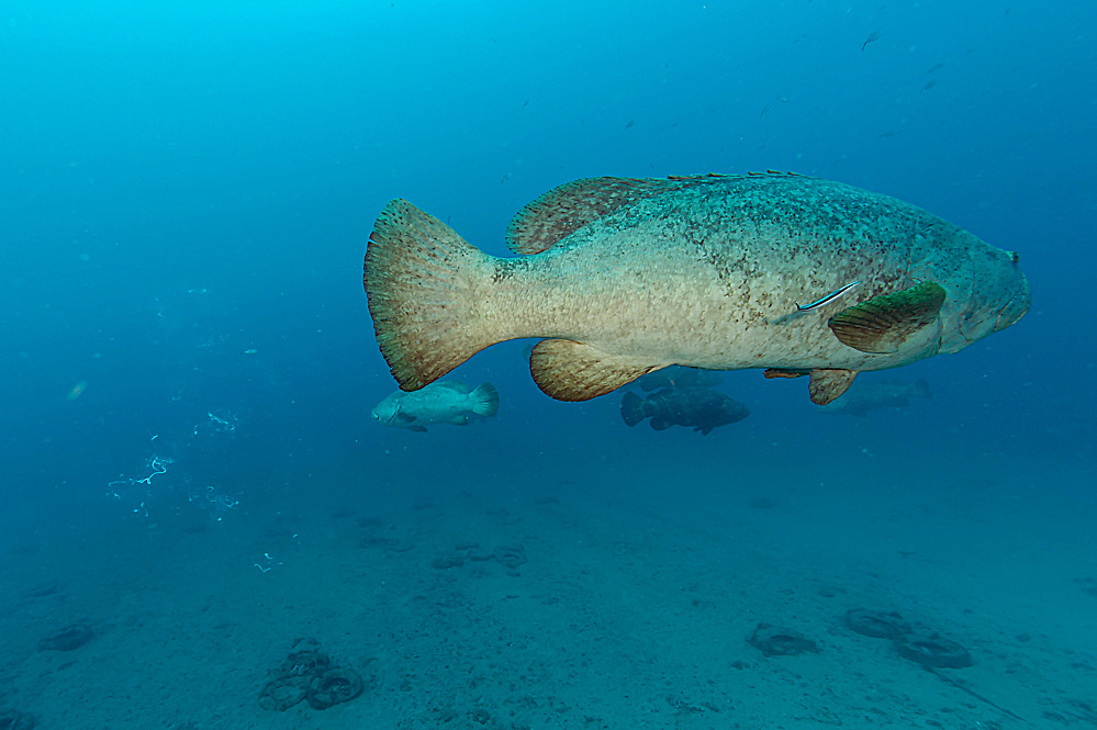 Male Goliath Grouper, Epinephelus itajara, releases sperm during the full moon August 16, 2014 offshore Singer Island, Florida, United States. Fish with spawning coloration.