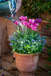 Feeding container grown tulips with liquid feed using a watering can