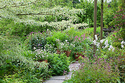 Border at Glebe Cottage with Cornus controversa 'Variegata' and pots of  Geranium clarkei 'Kashmir White'