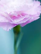 Dianthus - unnamed seedling