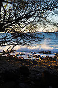 Kiawe Tree, Kaunaoa Beach, Mauna Kea Beach and Resort, Kohala Coast, Island of Hawaii