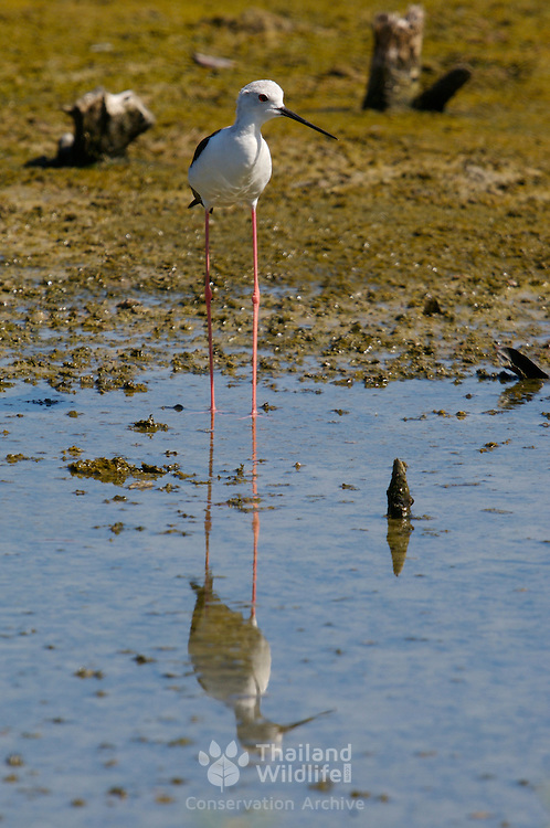 Black-winged Stilt, Himantopus himantopus, with reflection in water