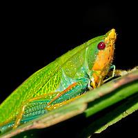 Alberto Carrera, Bug, Homoptera, Hemiptera, Tropical Rainforest, Corcovado National Park, Osa Conservation Area, Osa Peninsula, Costa Rica, Central America, America