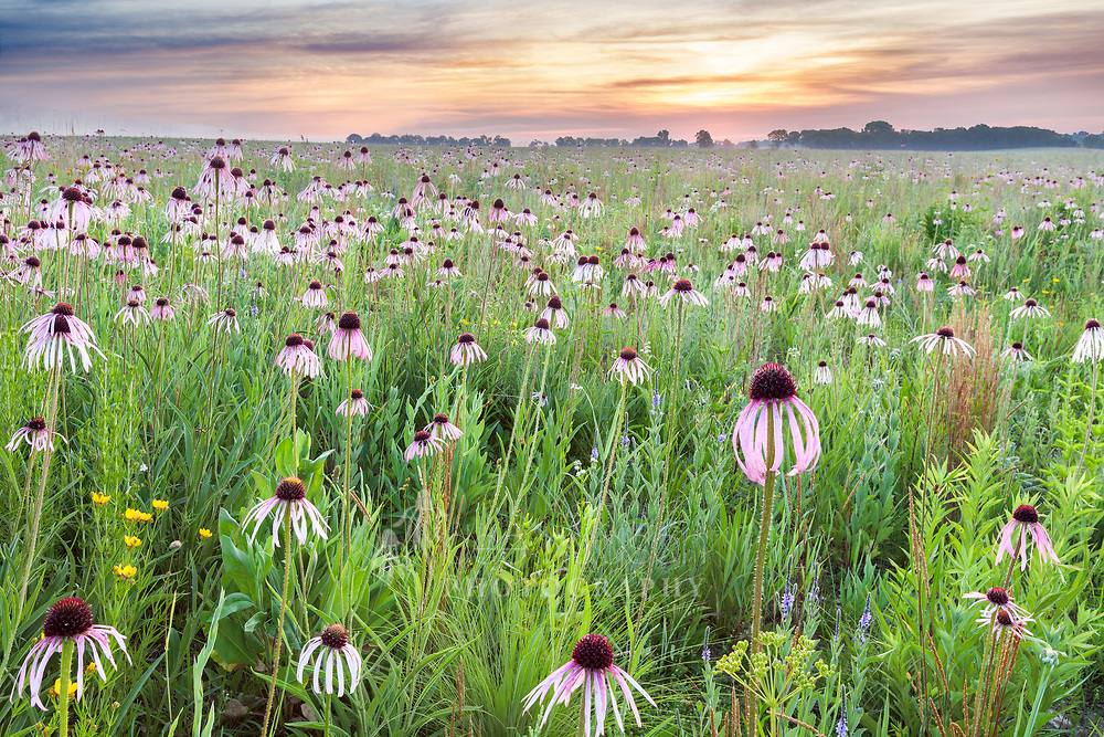 The pale purple coneflower is a very showy flower, especially when planted in mass or with other flowers of contrasting color. This sunrise view looks eastward over the Gobbler Ridge unit at Clear Creek Knolls. Volunteer stewards, Bernie & Cindy Buchholz, planted this stretch of prairie in 2011. Pale Purple Coneflower (Echinacea pallida)