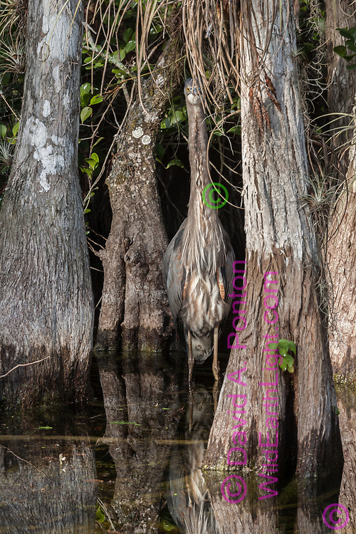 Great blue heron is camouflaged among cypress tree trunks. Big Cypress National Preserve, Florida, © 2007 David A. Ponton