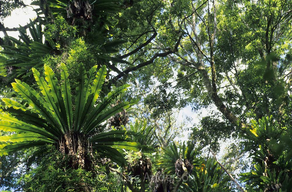 Tropical rainforest in Dorrigo National Park, NSW, Australia..
