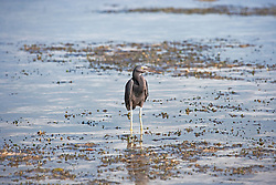 An Eastern Reef Egret (Egreta sacra) (grey morph) at Broome's Town Beach on the shores of Roebuck Bay.