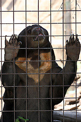06 July 2008: A sun bear clings to the fencing that keeps him confined in a zoo, posing for visitors and showing his exceptionally long claws and the markings on his chest.
