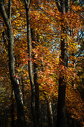 Maple trees display their fall colors along Devil's Well Rd. in the Ozark National Scenic Riverways, near Devil's Well.<br /> <br /> The Ozark National Scenic Riverways was established in 1964, making it America's first national park area to protect a wild river system. The Ozark National Scenic Riverways is known for its caves, springs, sinkholes and losing streams. Visitors can enjoy water activities, such as floating, canoeing, tubing, swimming and fishing. Additionally there are opportunities for hiking, horseback riding and wildlife viewing. Over 130 miles of waterways and 300 identified caves exist within the park.