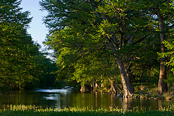 Stock photo of Cypress trees lining the banks of the Frio River in the Texas Hill Country