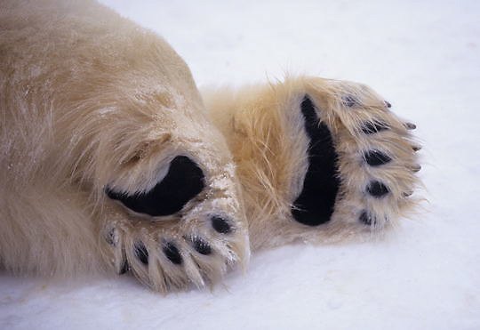 Polar Bear, (Ursus maritimus) Close up of black pads on feet. Churchill, Manitoba. Canada.