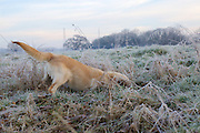 A golden retriever puppy playing in the frosty grass.