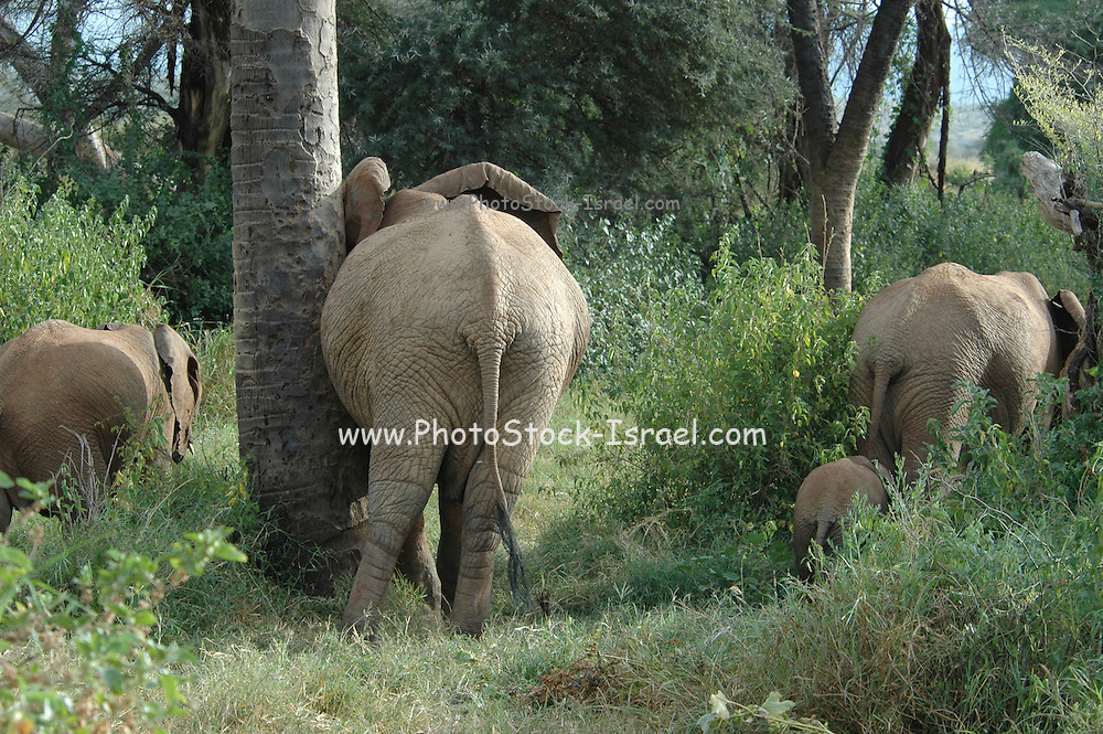 Kenya, Samburu National Reserve, Kenya, Herd of African Elephant with baby. Mature elephant rubbing against a tree