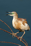 Squacco Heron (Ardeola ralloides) in the water with ruffled Feathers, Israel