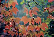 Fall leaves through screen