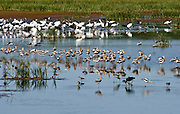 The avocets, ibis, egrets and shorebirds were all busy feeding together, then the American Avocet's took a moment to rest and preen. Taken at Bombay Hook NWR