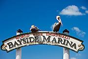 Brown Pelicans at Bayside Marina, Islamorada, Florida Keys, USA