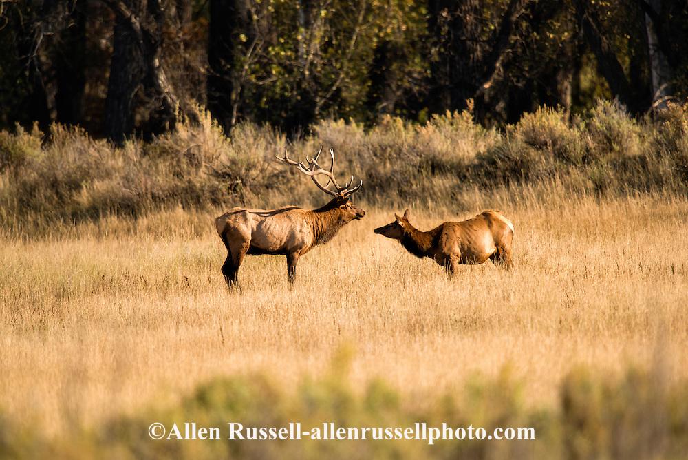 Bull elk, Cow elk, Cervus Canadensis, rut, Charles M Russell National Wildlife Refuge, Montana
