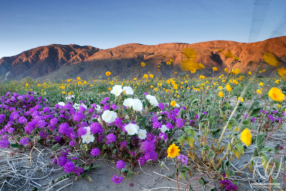 Spring Wildflowers Blowing in the Wind, Anza Borrego Desert State Park, California