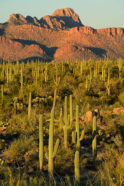 USA,Arizona,Tucson, Saguaro National Park, last light on desert at signal hill,