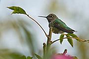 Anna's Hummingbird perches for a portrait.