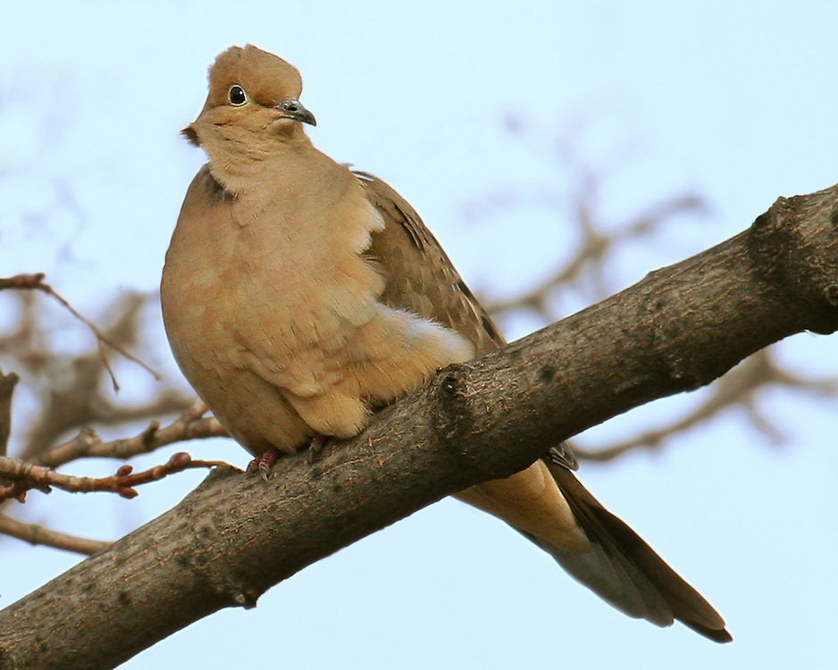A bad hair day (very windy) for this mourning dove.