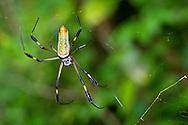 Alberto Carrera, Golden orb-web Spider, Nephila clavipes, Tropical Rainforest, Marino Ballena National Park, Uvita de Osa, Puntarenas, Costa Rica, Central America, America