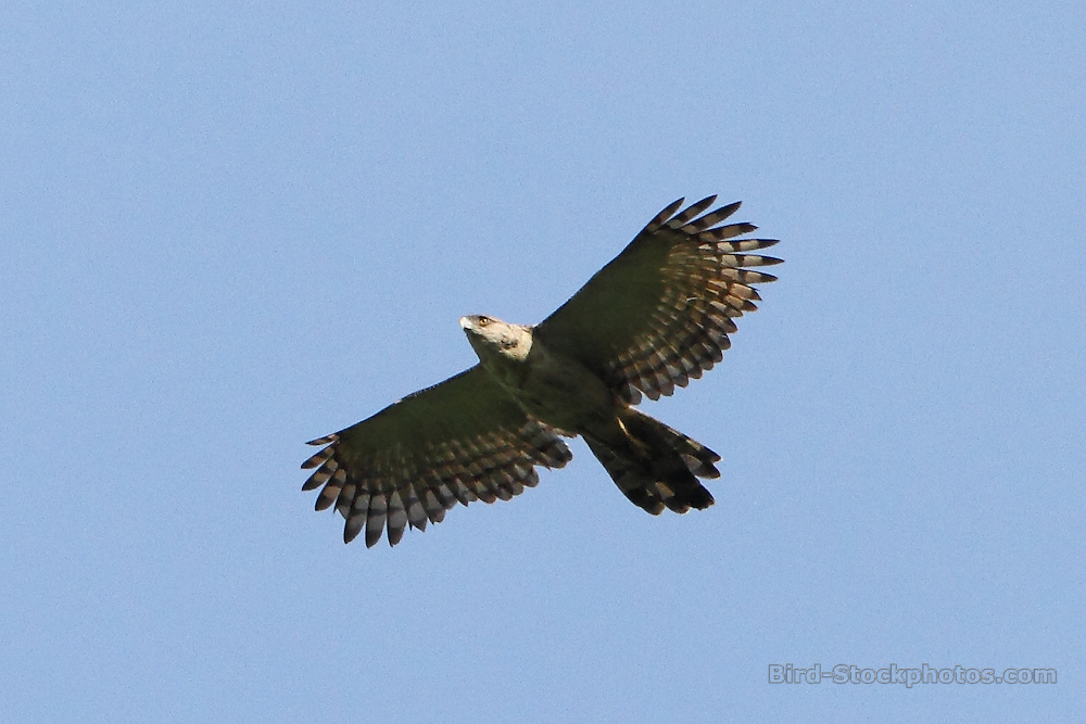 Papuan Eagle, Harpyopsis novaeguineae, flying, Papua New Guinea, by Markus Lilje