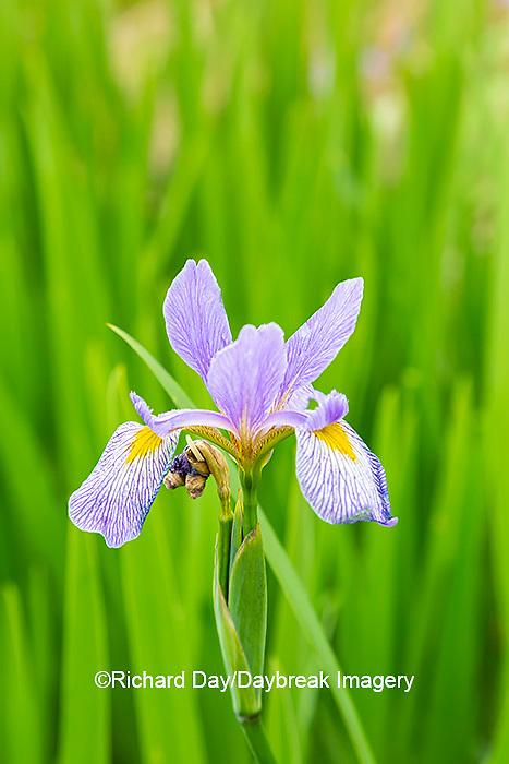 63899-05506 Blue Flag Iris (Iris versicolor) in wetland Marion Co. IL