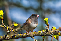 "This pale male dark-eyed junco (Junco hyemalis oreganus) is one of six subspecies of this relative of New World sparrows found throughout the Pacific Northwest. Sometimes referred to as the Oregon Junco, these birds have a noticeably dark ""hood"" or head compared to others of the same species found across North America. This one was photographed<br />