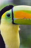 Keel-Billed Tucan, Belize's national bird, at Belize zoo